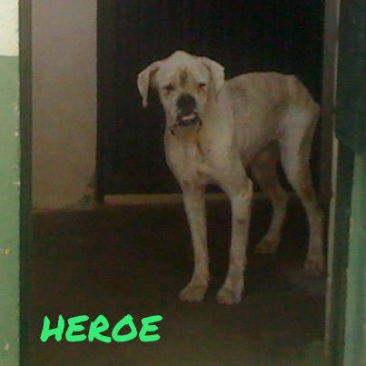 HEROE. Bóxer en perrera de Badajoz. Sacrifican 417341_3502098355214_211323552_n1