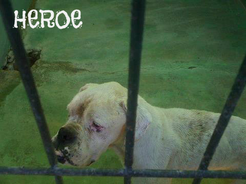HEROE. Bóxer en perrera de Badajoz. Sacrifican 486500_3518366561909_616834962_n1