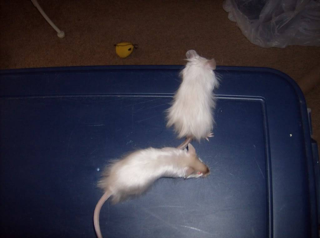 Pics of our favorite boy mice :) 015-1