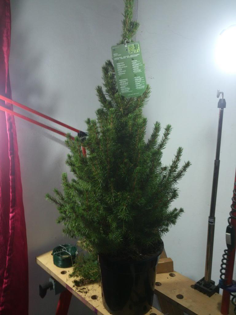 Mi ultima adquisicion, Picea glauca Conica DSC_0403_zps31a818be