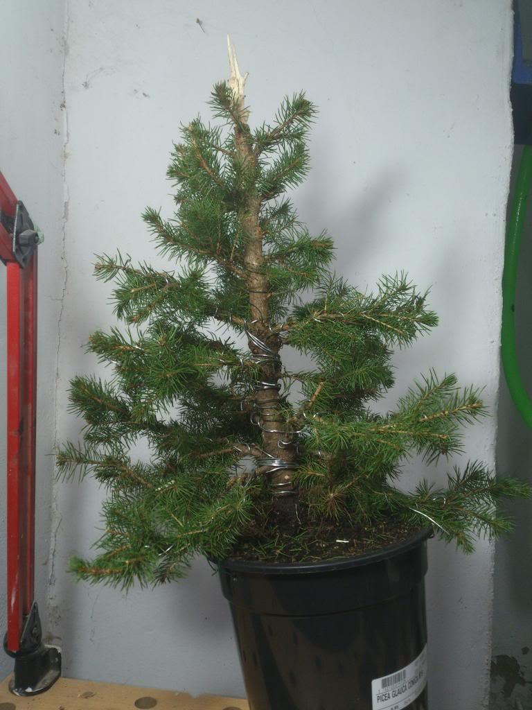 Mi ultima adquisicion, Picea glauca Conica DSC_0404_zps0a754eb5