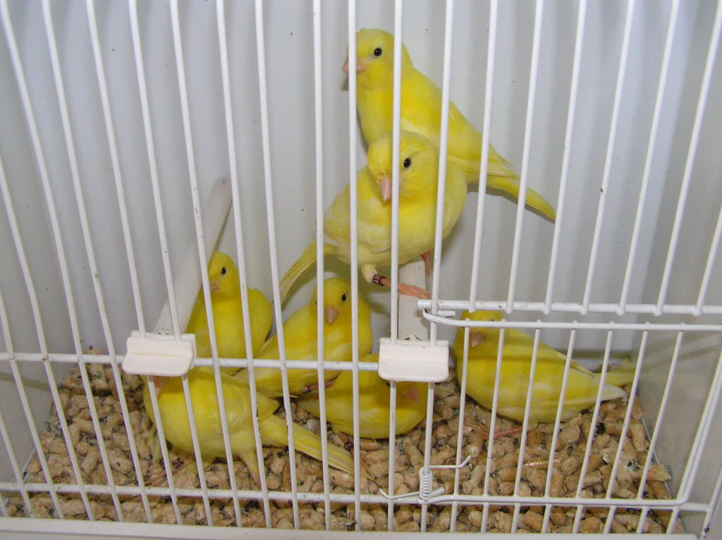My yellow canaries P1010006