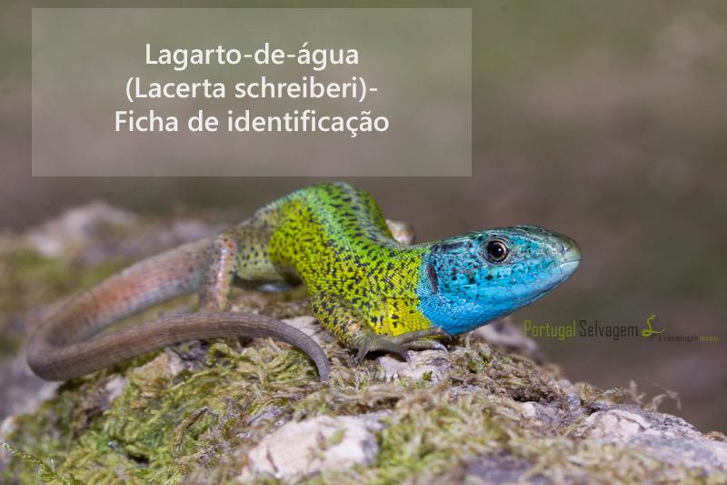 Lagarto-de-água - Artigo Portugal Selvagem 8722688361_95211e1d3b_b_zpsf5f2a0e2