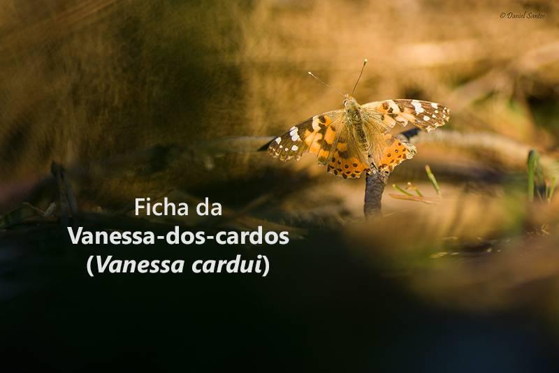 Vanessa-dos-cardos (Vanessa cardui) DSC_4919_zpss03m5skl
