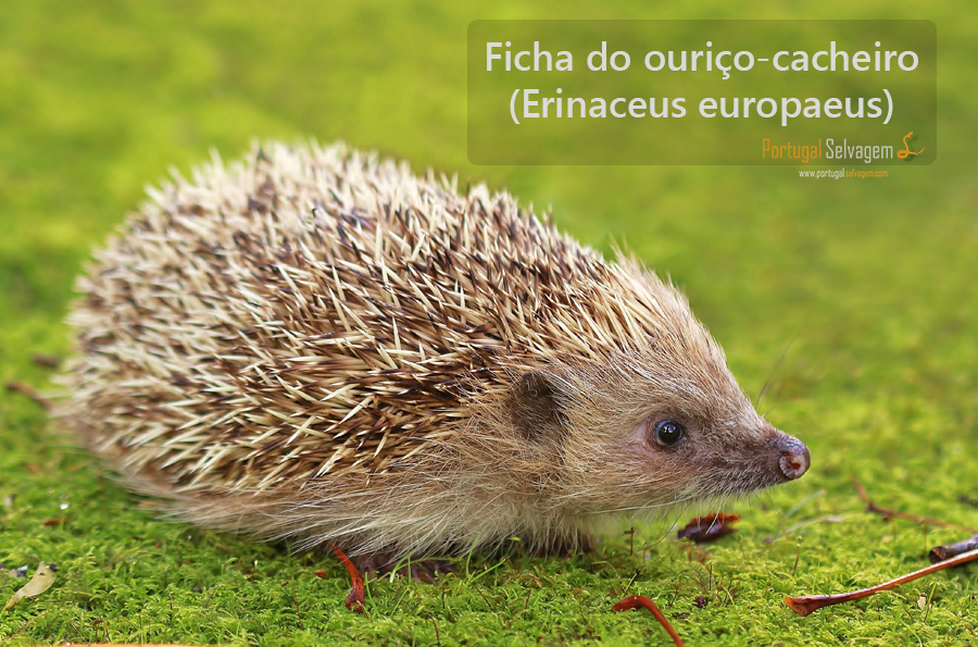 Ouriço-cacheiro (Erinaceus europaeus) 4237369389_33ddd2d4de_o_zpsa8869221