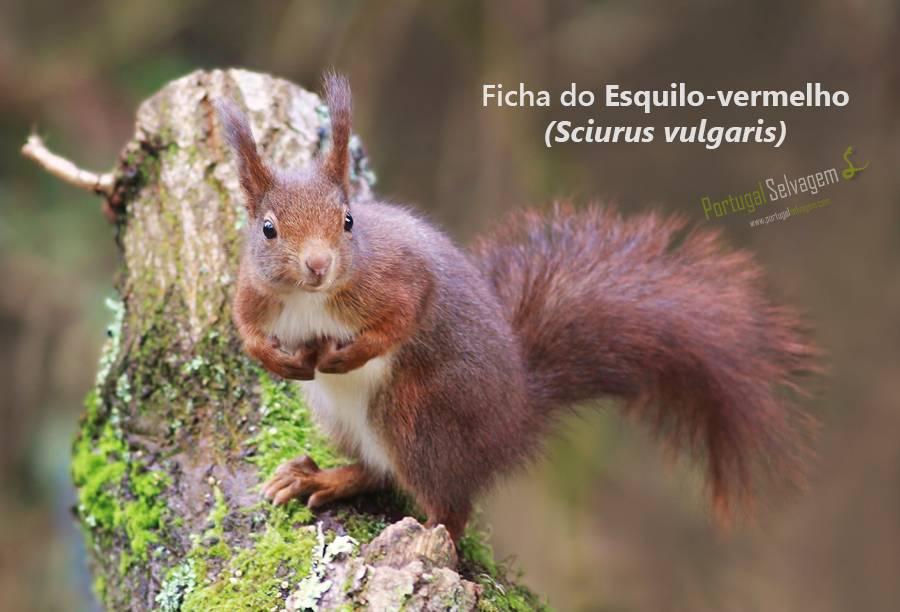 Esquilo-vermelho (Sciurus vulgaris) 4274258533_32399a3984_o_zps1f789e3c