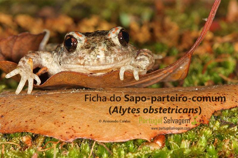 Ficha do Sapo-parteiro-comum (Alytes obstetricans) Sapo_parteiro_zpscfa6baba