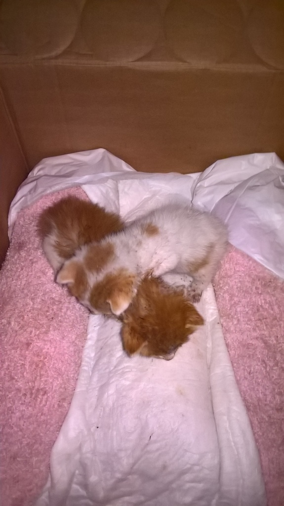 Χαρίζονται δύο μωρά γατάκια WP_20160829_19_09_01_Pro_zpspcg9eqvg