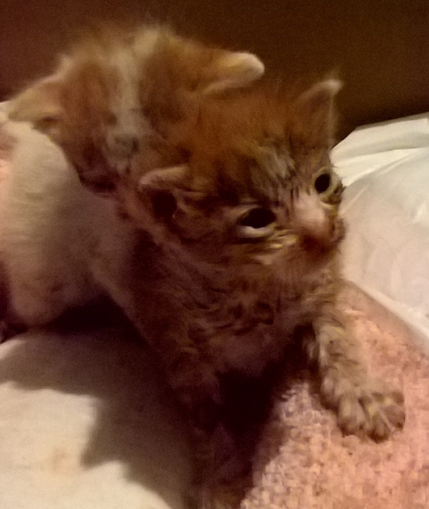 Χαρίζονται δύο μωρά γατάκια WP_20160829_19_15_29_Pro%202_zpsqanklvqr