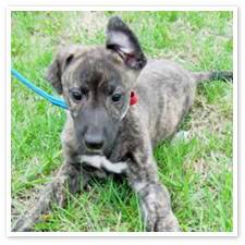 I Spy Greyhound_puppy