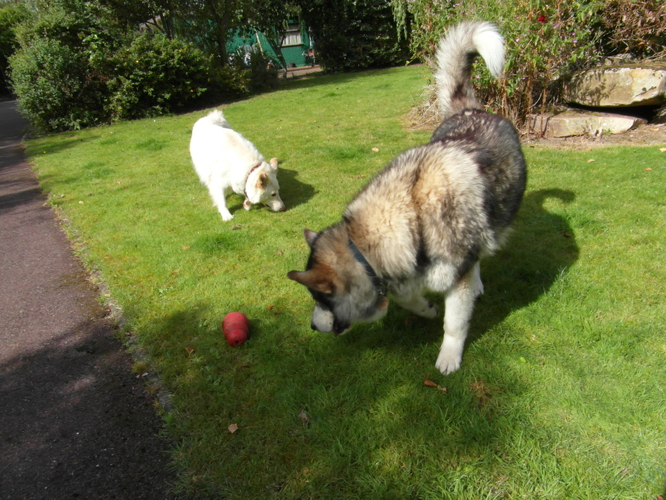 Maddison is a lovely 4 year old GSD homed SAM_1559