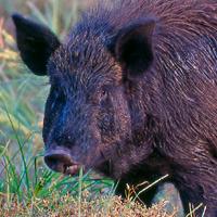 Boar | Prey | * Boar