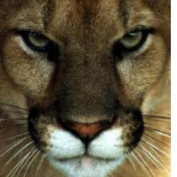 Cougar | Enemy | *** Cougar