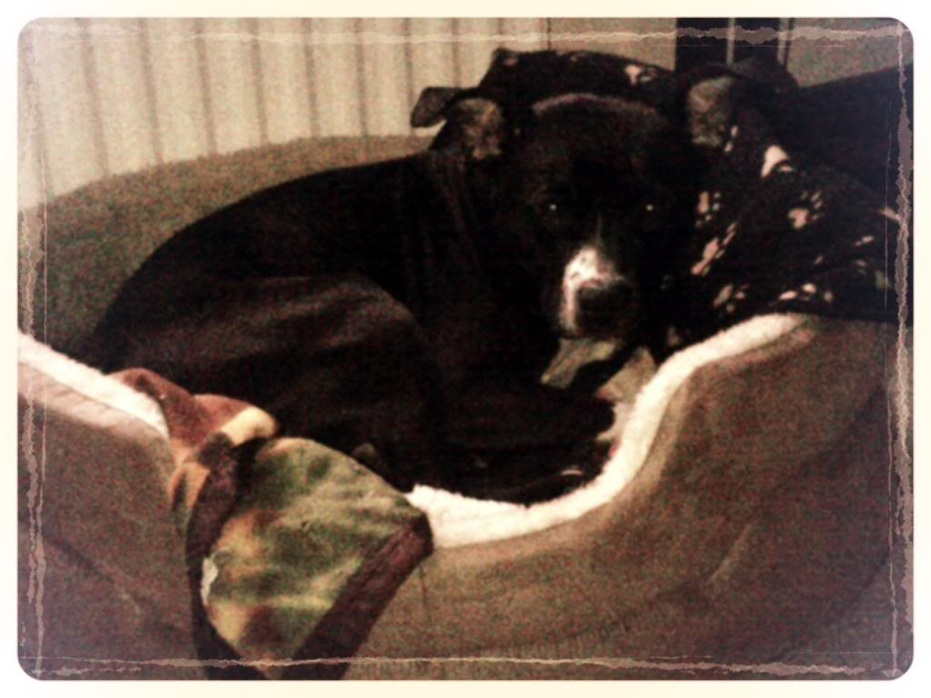 Staffy Proof Bed... can anyone recommend one? 26261c21-cc46-45e9-b182-5b1aac9212d7