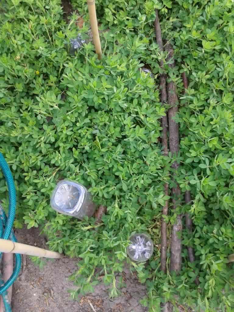 levende mulch/grondbedekking tussen (meerjarige) groenten? - Pagina 2 2014-05-03141249_zpsd030412e