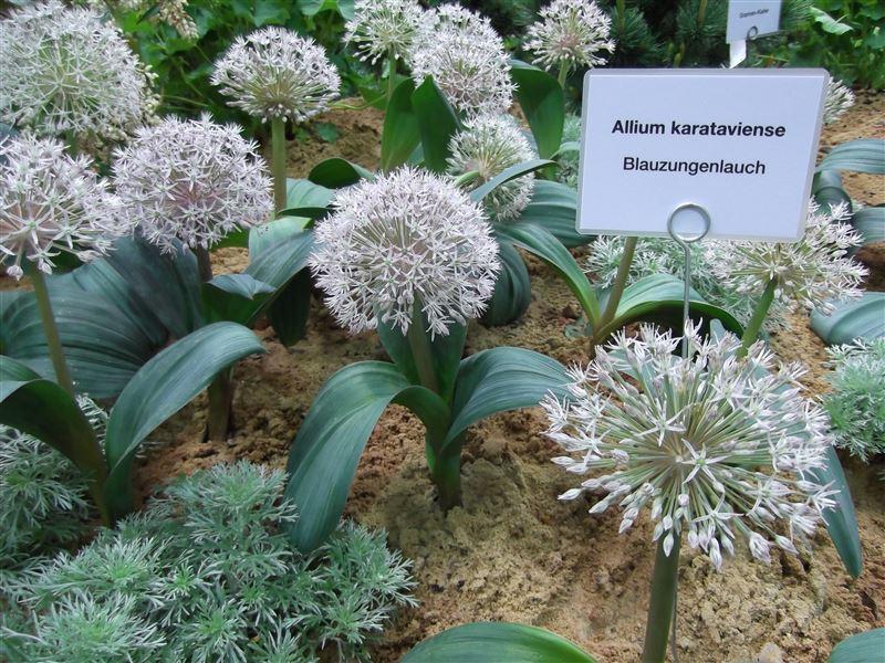 Amaryllisgewächse - Amaryllidaceae (Hippeastren, Nerine, Amaryllis, Agapanthus und auch Allium & Narzissen) - Seite 5 DSCF0397_zpsf0280356
