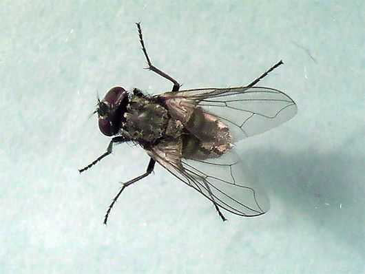 Control de moscas en hospitales. Mosca_comun_zps5faaa516