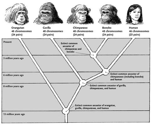 Humans ARE Apes!... Evolution_zps1xntpobd