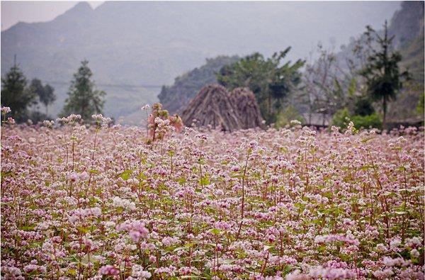Hòa mình vào khung cảnh đẹp nao lòng người của du lịch Hà Giang Dam-minh-vao-ve-dep-say-long-nguoi-cua-ha-giang-1_zpsjgclegk3