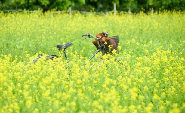 Thời kì hoa cải đã về Mua-hoa-cai-08_zpsegmghivz