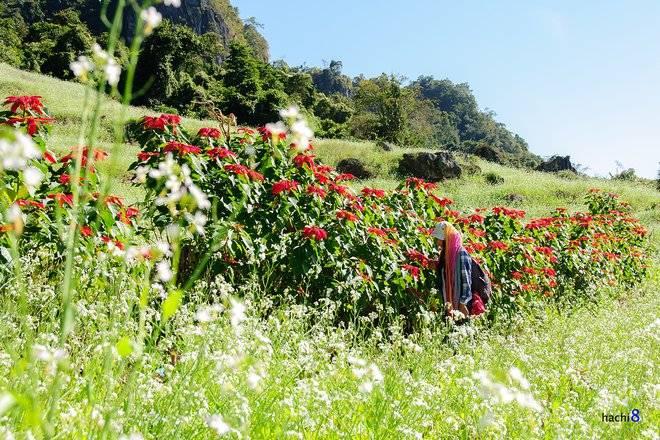 Tam giác mạch là loài hoa đặc trưng của cao nguyên đá Hà Giang  Nhung-mua-hoa-moi-goi-dan-phuot-dip-cuoi-nam-10_zpsvmybnocc