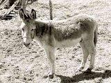 Καλπάκι 3 Νοεμβρίου 1940 - Σελίδα 2 Th_donkey-0010