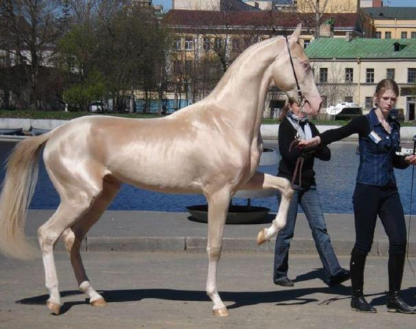 Global Federation International News Network! - Page 3 Source_MediaPageBassamAl-Arian-themostbeautifulhorseintheworld-the2012TurkishHorse
