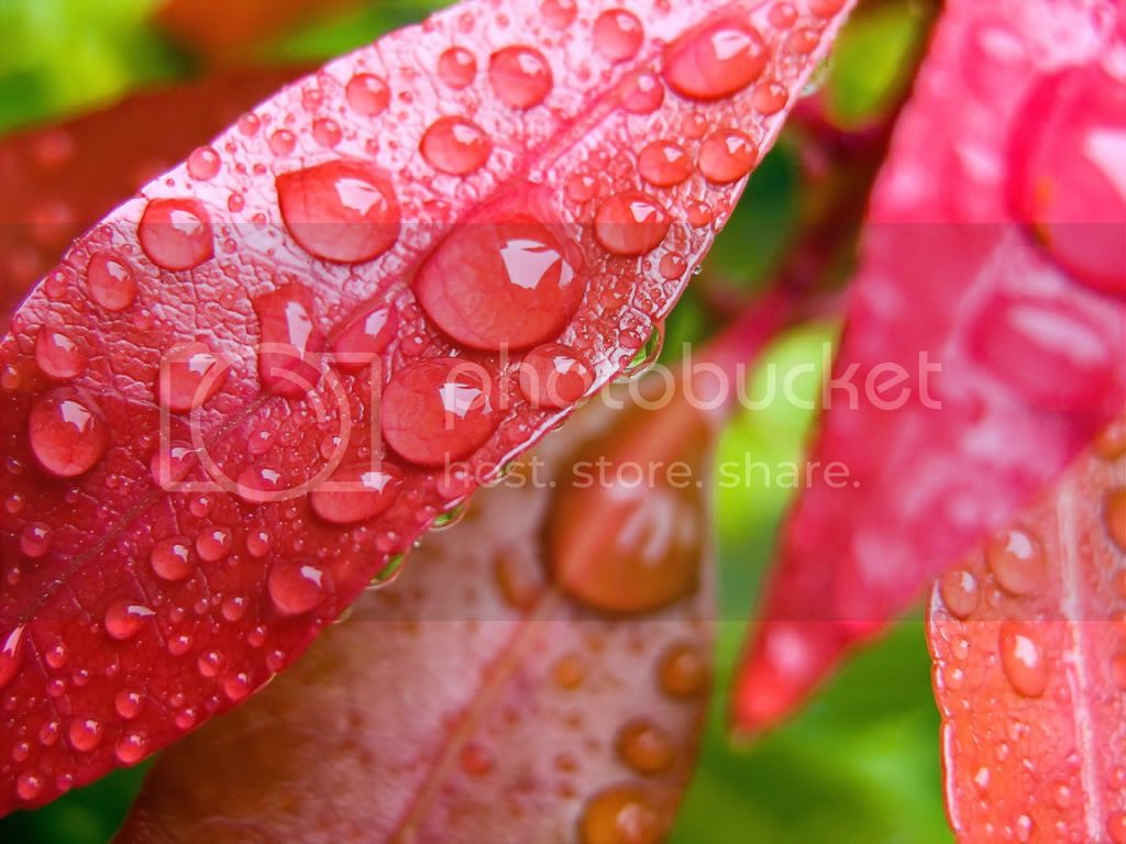 Water Drops HD Desktop Wallpapers Water_drops_on_leaves-normal_zps591362bb
