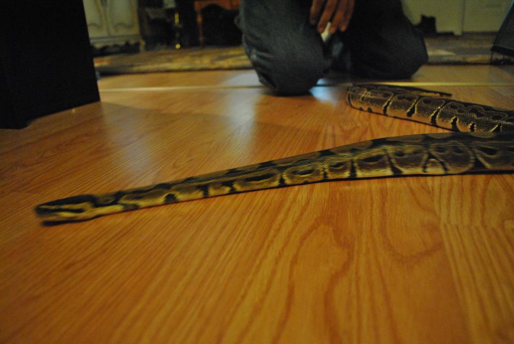 First snake Ball Python Sagan!!!! DSC_0028_zps9e1c7ee0