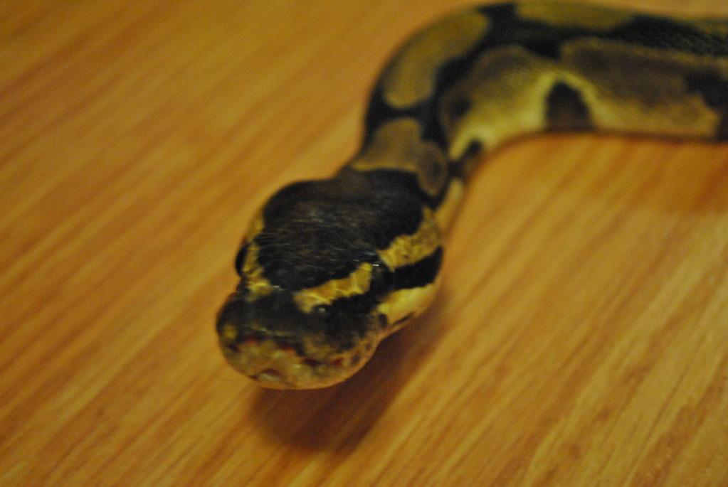 First snake Ball Python Sagan!!!! DSC_0034_zps237a7146