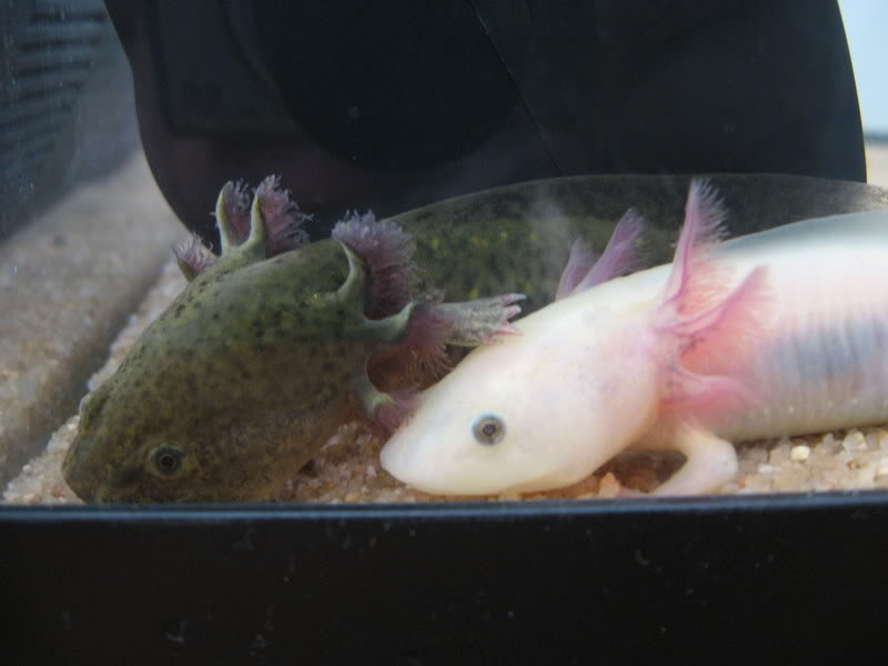 Axolotls are awesome (with pictures made of awesome) IMG_2800