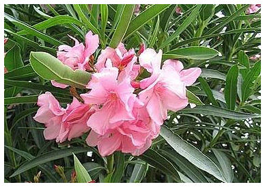 Plantas Peligrosas Adelfa