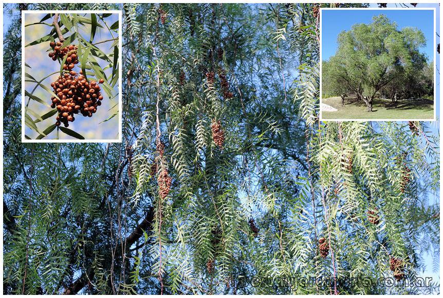 Plantas Peligrosas Aguaribay