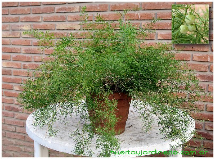 Plantas Peligrosas Asparagus