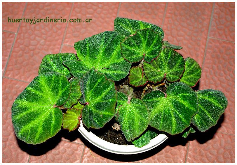 Plantas Peligrosas Begonia