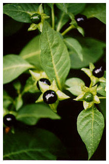 Plantas Peligrosas Belladona