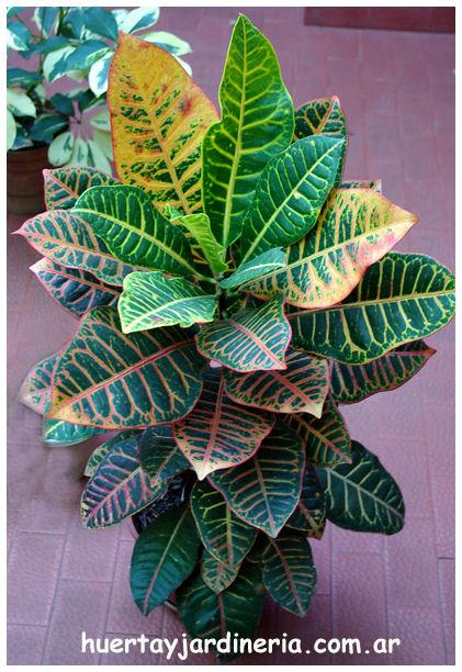 Plantas Peligrosas Croton