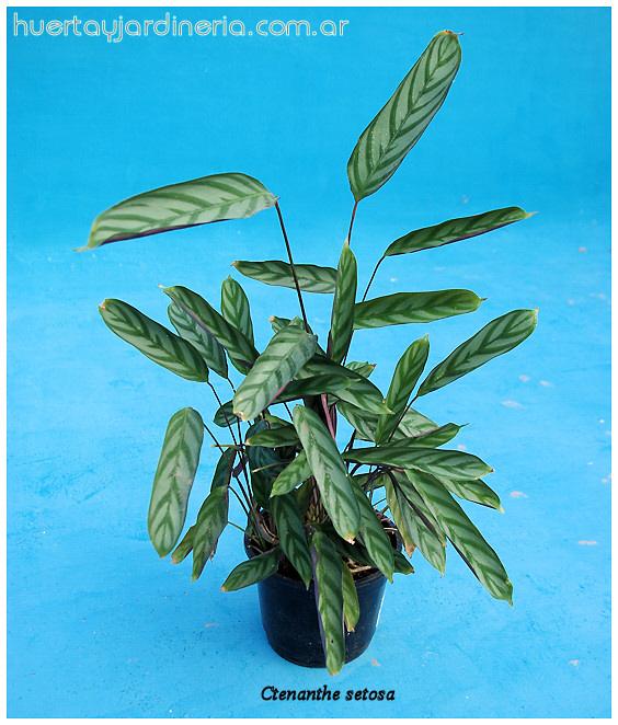 Plantas Peligrosas Ctenanthesetosa