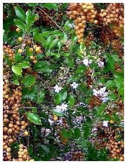 Plantas Peligrosas Duranta