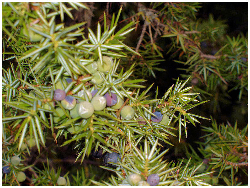 Plantas Peligrosas Enebro