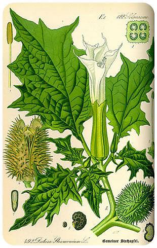 Plantas Peligrosas Estramonio201