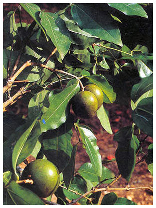 Plantas Peligrosas Estricnina