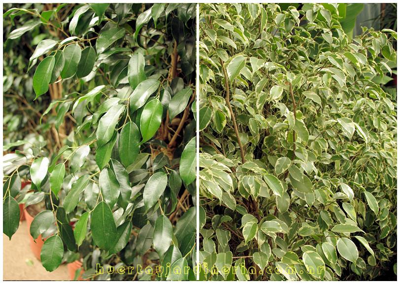 Plantas Peligrosas Ficus
