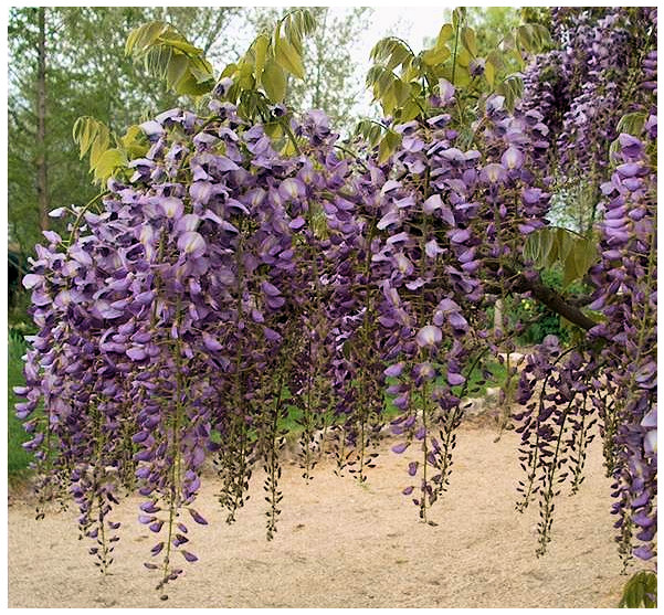 Plantas Peligrosas GlicinaWisteriasinensis