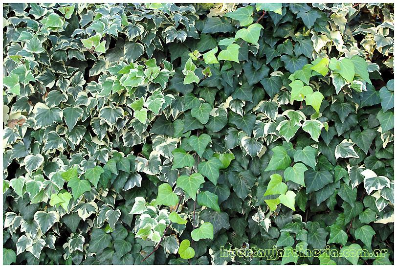 Plantas Peligrosas Hederahelixhiedracomun