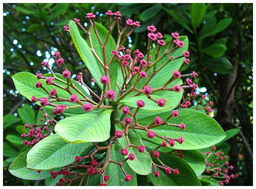 Plantas Peligrosas Lechero