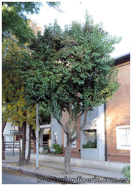 Plantas Peligrosas Ligustrum