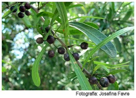 Plantas Peligrosas Molle20Schinus20longifolius20Josefina20Favre