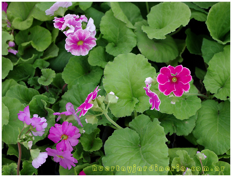 Plantas Peligrosas Primula