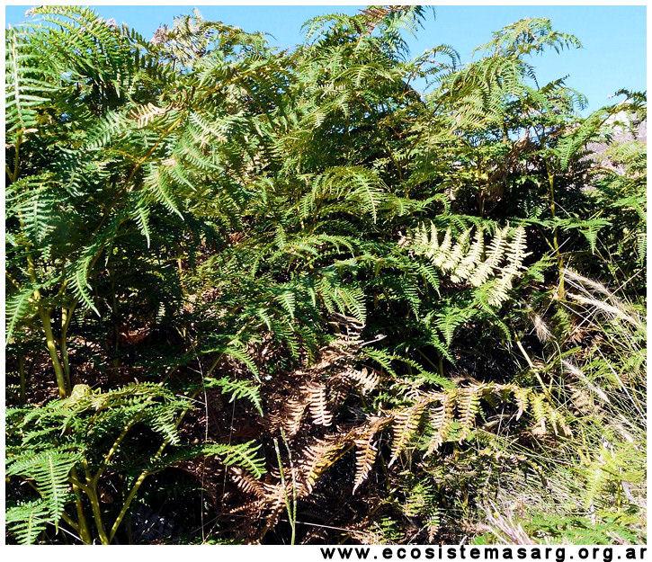 Plantas Peligrosas Pteridium